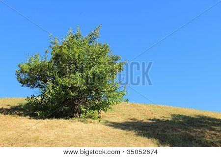Lonely Green Bush on Dried Dead Grass Hill