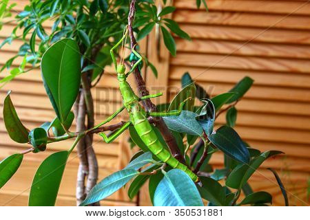 Wild Insect Creeping On A Tree. Stick Insect Scrambles Through A Green Tree And Disguises Himself.