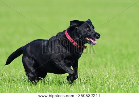 Close Up Of A Young Black Labrador Running Through A Field