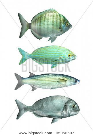 Collection of a mediterranean fish The Sharpsnout Sea Bream (Diplodus puntazzo)The Salema porgy (Sarpa salpa), The Thicklip Grey Mullet (Chelon labrosus) and The Couches Bream (Sparus pagrus),