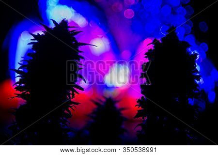 Dark Silhouette Of Female Cannabis Indica Plant Buds Against  Colorful Lights Out Of Focus In Black
