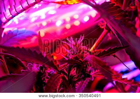 Cannabis Plants Under Led Light
