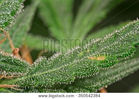 Close Up Of Trichomes On Cannabis - Marijuana Leaf With Out Of Focus Iconic Shape Of Typical Cannabi