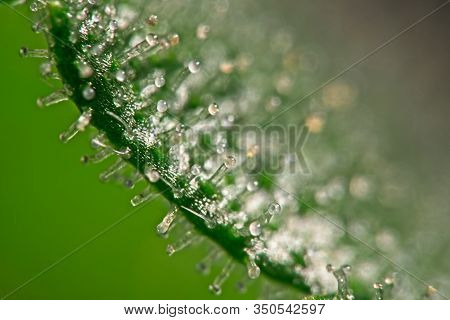 Macro Close Up Of Trichomes On One Side Cannabis - Marijuana Leaf With Selective Focus And Nice Blur