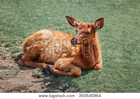 Cute Young Fallow Deer Calf Fawn Lying On Grass Ground At Summer Day Outdoor. Herd Animal Baby Dama