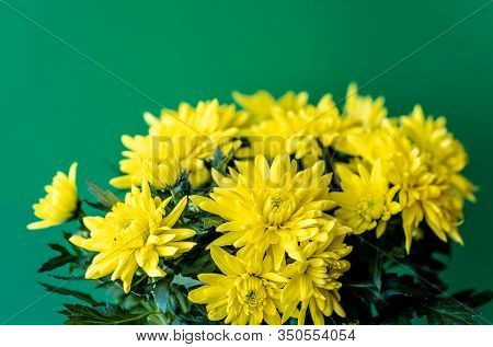 Bouquet Of Yellow Chrysanthemums On A Green Background. Yellow Flowers On A Green Background. Flower