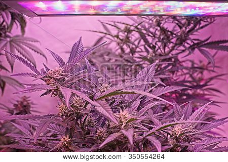 Nice Cannabis Plant Growing Undr Led Light With Visible Multicolor Led Panel.