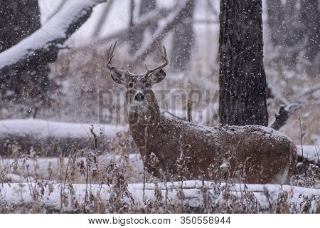 White-tailed Buck In A Forest Snow Storm. Wild Deer Buck In The Colorado Great Outdoors