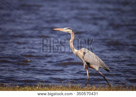 Large Wading Great Blue Heron Ardea Herodias Wading Bird