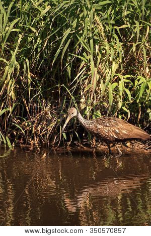 Limpkin Bird Aramus Guarauna Forages For Mollusks In The Lake