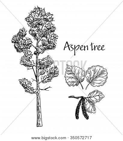 Aspen Hand Drawn Sketch. Vector Sketch Of Deciduous Tree. Leaves Of Aspen, Flowering Aspen.