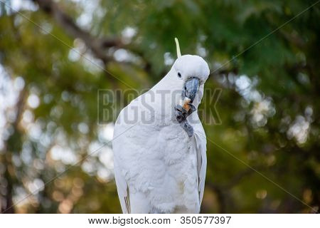 Curious Sulphur-crested Cockatoo With Piece Of Bread In Its Beak