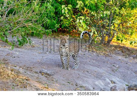 One Of Most Beautiful Cat, South African Leopard Walking On Bank Of Chobe River, Panthera Pardus, Ch