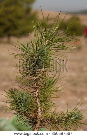 Afforestation Close-up Of Young Pine Branch, Ready To Reforest, With Unfocused Background