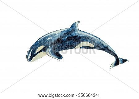 Watercolor Of Killer Whale Isolated On White Background. Illustration Of Killer Whale On White Backg