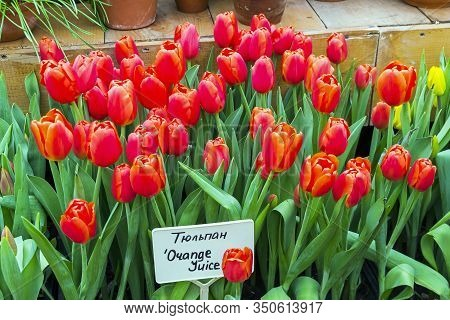 Tulipa Of The Orange Juice  Species In A Greenhouse. Translation Of The Word On Nameplate: