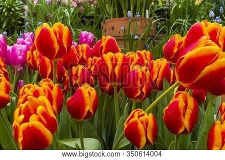 Tulipa Of The Carpe Diem  Species In A Greenhouse.
