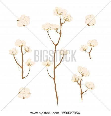 Cotton Branch With Flowers On White Background. Delicate White Cotton Flowers On Brunch. Light Cotto