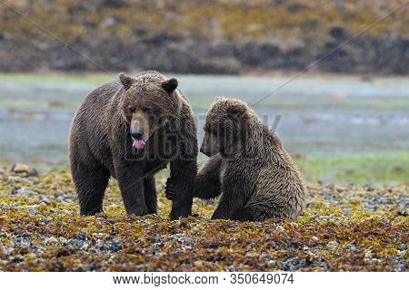 Affection - Grizzly Mother With Her Cute Cup- Grizzlies Stay For  Three Years With Their Mothers Aft