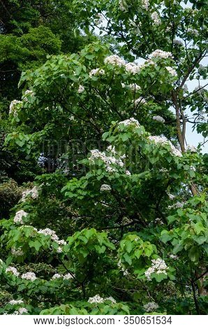 Beautiful White Tung Flower Blooms In Spring
