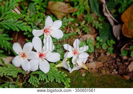 Beautiful White Tung Tree Flower, Like The Snow Floating On The Ground In May