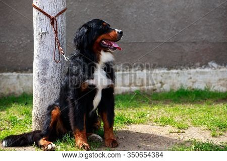 Bernese Mountain Dog Sit On Green Grass
