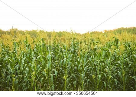 Corn Field In Sunset Isolated On White Background,green Corn Field, Corn Plantation