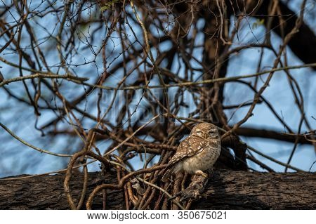 Spotted Owlet Or Athene Brama Perched On  Tree Trunk In Early Morning Blue Hours At Keoladeo Nationa