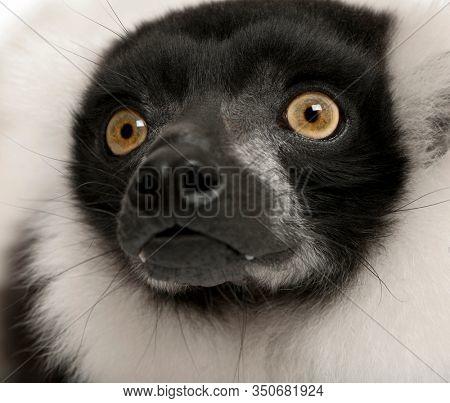 Black-and-white ruffed lemur, Varecia variegata, 24 years old, close-up