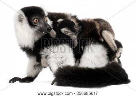 Mother and baby Black-and-white ruffed lemur, Varecia variegata subcincta, 7 years old and 2 months old, in front of white background