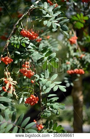 Mountain Ash, Sorbus Aucuparia Branches With Foliage And Ripe Bright Orange Berries On Sunny Day. Th