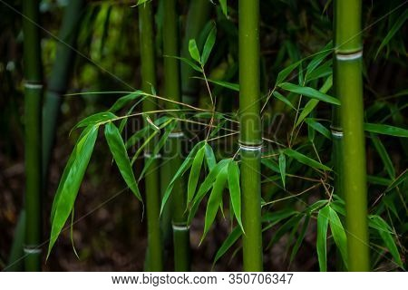 Bamboo Leaves In A Bamboo Forest,green Nature Background