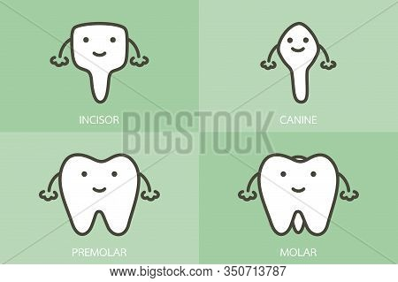 Type Of Tooth ( Incisor, Canine, Premolar, Molar ) - Dental Cartoon Vector Flat Style Cute Character