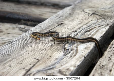 A young garter snake sunbathing on wooden planks with tongue stuck out head is face on. poster