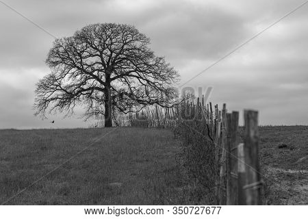 Spooky, Barren And Leafless Old Tree Standing Alone On The Horizon At The End Of A Fence Line With G