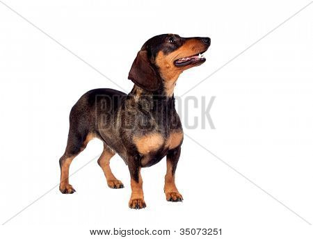 Beautiful dog teckel isolated on white background