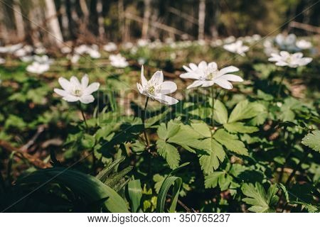 Snowdrop On Sunny Day. White Spring Flowers Growing On The Meadow In The Forest.