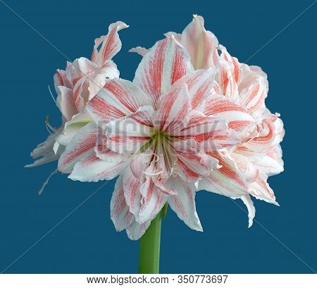 Hippeastrum Amaryllis Dancing Queen Double Flowering Close Up On Blue Background