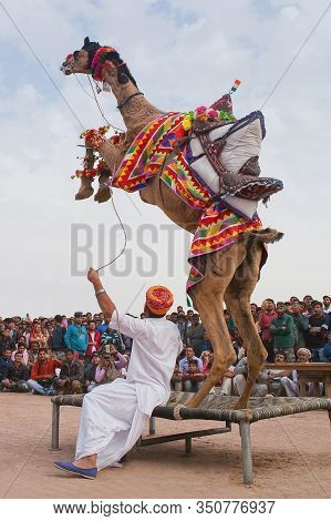 Bikaner, India - January 12, 2019: Dromedary Camel Jumping During Camel Festival In Rajasthan State