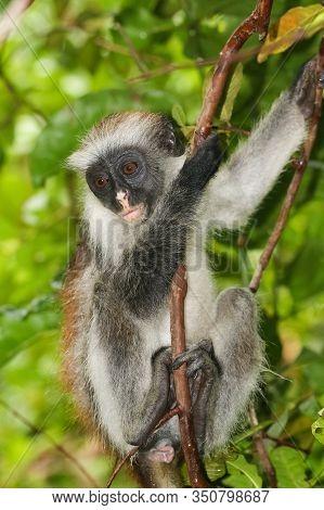 Endangered Red Colobus Monkey (piliocolobus Kirkii) In Jozani Rainforest