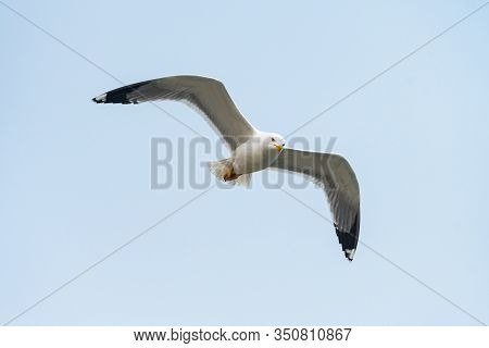 A Yellow Legged Gull Flying On A Cloudy Day In Winter (venice, Italy)