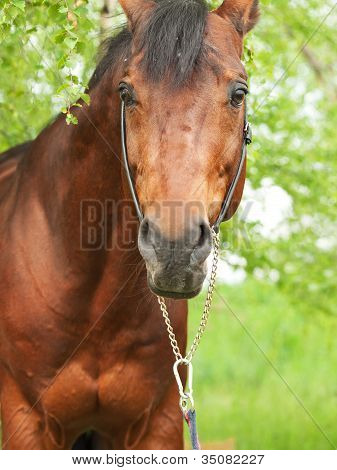 Portrait Of Wonderful Trakehner Stallion