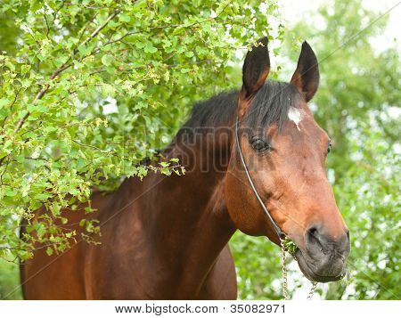 Portrait Of Wonderful Trakehner Stallion  In Spring Birch Forest.