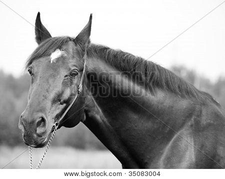 Portrait Of Wonderful Trakehner Stallion In B&w