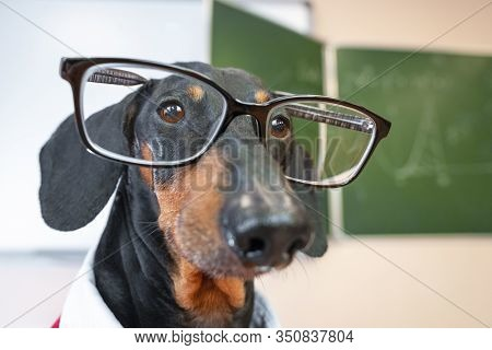 Funny Black And Tan Dachshund Teacher Or Professor In The Class Room. Wearing Glasses, Close Up Port