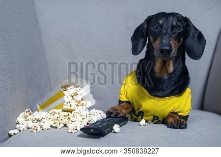 Funny Dachshund Dog In A Yellow T-shirt Spends His Free Time In Weekend Sitting In Chair With A Pack