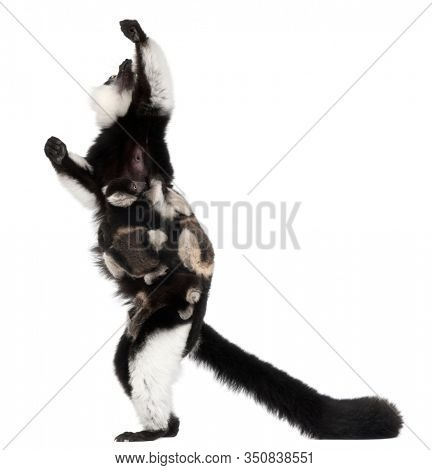 Mother and baby Black-and-white ruffed lemurs, Varecia variegata subcincta, 7 years old and 2 months old, in front of white background