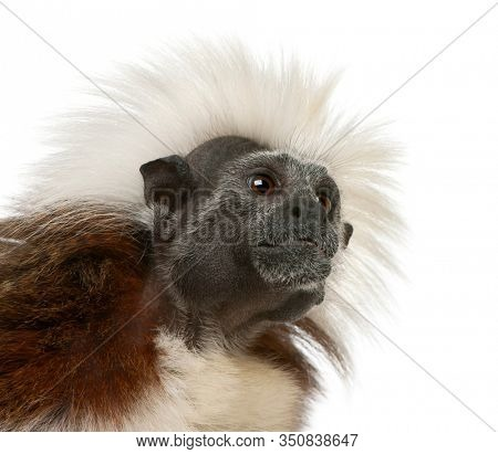 Close-up of Cottontop Tamarin, Saguinus oedipus, in front of white background