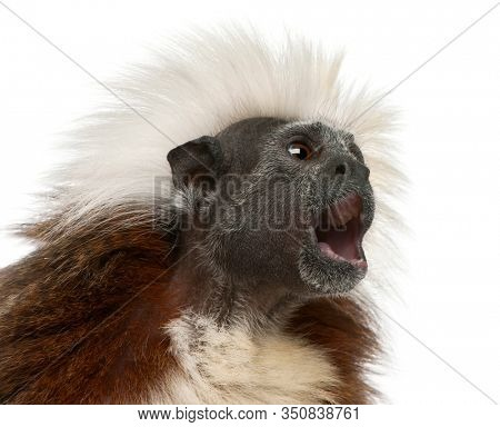 Close-up of Cottontop Tamarin with mouth open, Saguinus oedipus, in front of white background