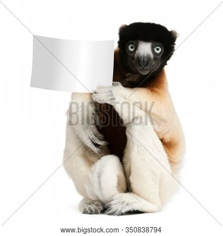 Crowned Sifaka, Propithecus coronatus, 14 years old, holding blank paper in front of white background